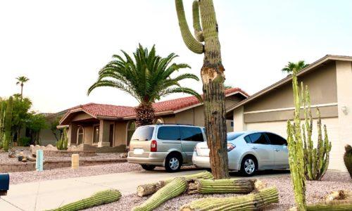 Saguaro fallen